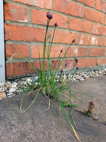 purple and green chive plant self seeded in between the patio slabs in front of a red brick wall