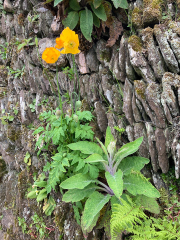 yellow poppies and a foxglove plant growing on a stone wall