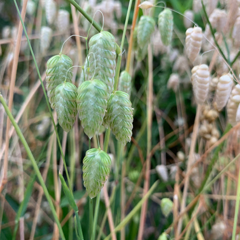 fresh green and yellow dried seeds heads hanging down from thin stems