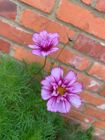 pink and white cosmos flower against a red brick wall