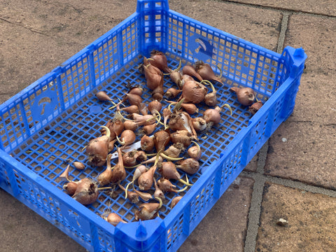 Blue plastic crate with tulip bulbs in
