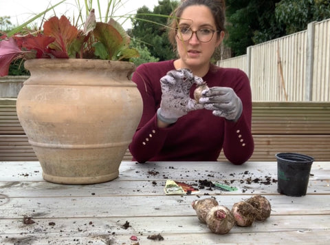 showing the size of a hyacinth bulb
