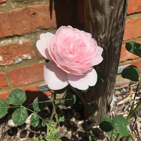 Light pink Queen of Sweden rose against a red brick wall
