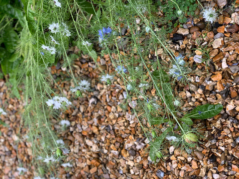 Nigella flowers and seed pods collapsed over on to the gravel in the rain