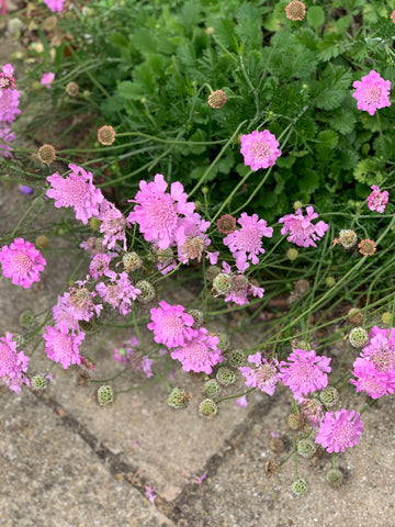 candy pink scabious in the mindful garden