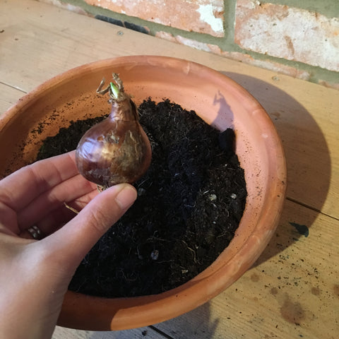 Terracotta pot filled with soil and a hand holding a paperwhite narcissus bulb with the pointed end upwards as they should be planted