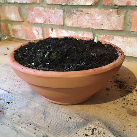 Terracotta bowl filled almost to the top with soil and a few green tips of paperwhite narcissus bulbs poking out the top