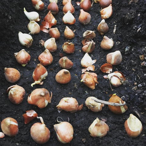 Rows of brown papery tulip bulbs all in a row in a deep trench like eggs in a carton
