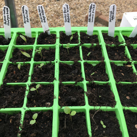 green seed tray filled with compost, small green seedlings and white plastic plant markers with plant names in black marker