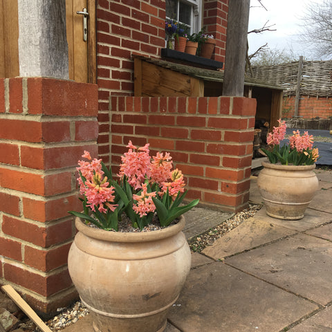 Two stone pots either side of a front door overflowing with pinky peach hyacinth gipsy queen