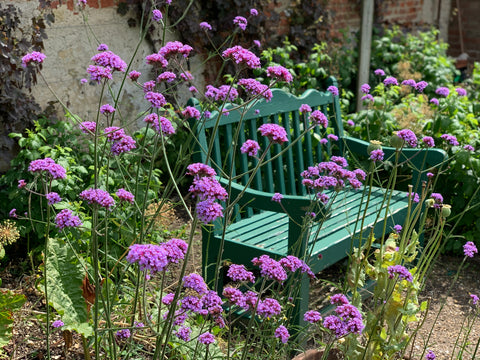 The purple herbaceous perennial Verbena Bonariensis in front of a bright green bench in a mindful garden