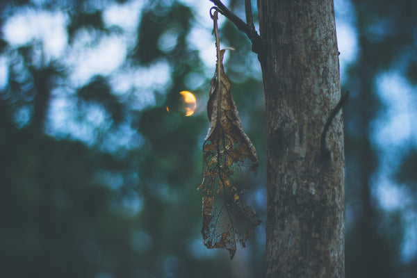 Dead leaf hanging from tree