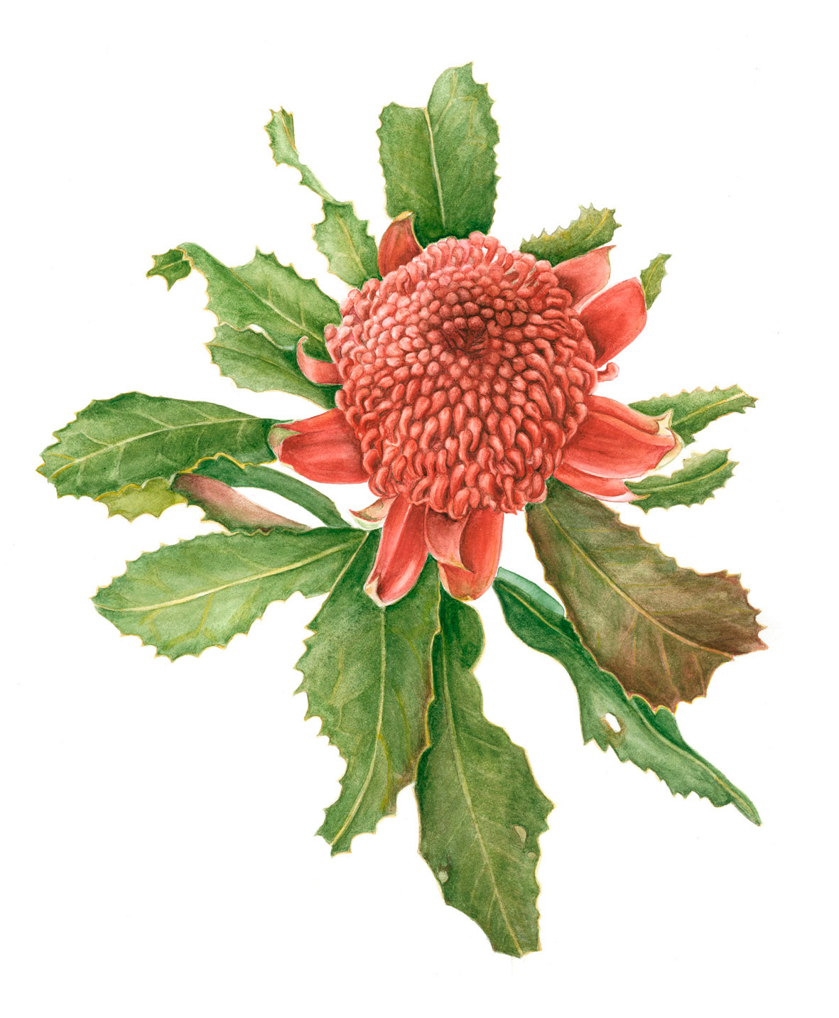 Our May Artist in Focus is Alison Dickin Botanical Artist