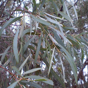 Eucalyptus Blue Mallee Oil 25ml