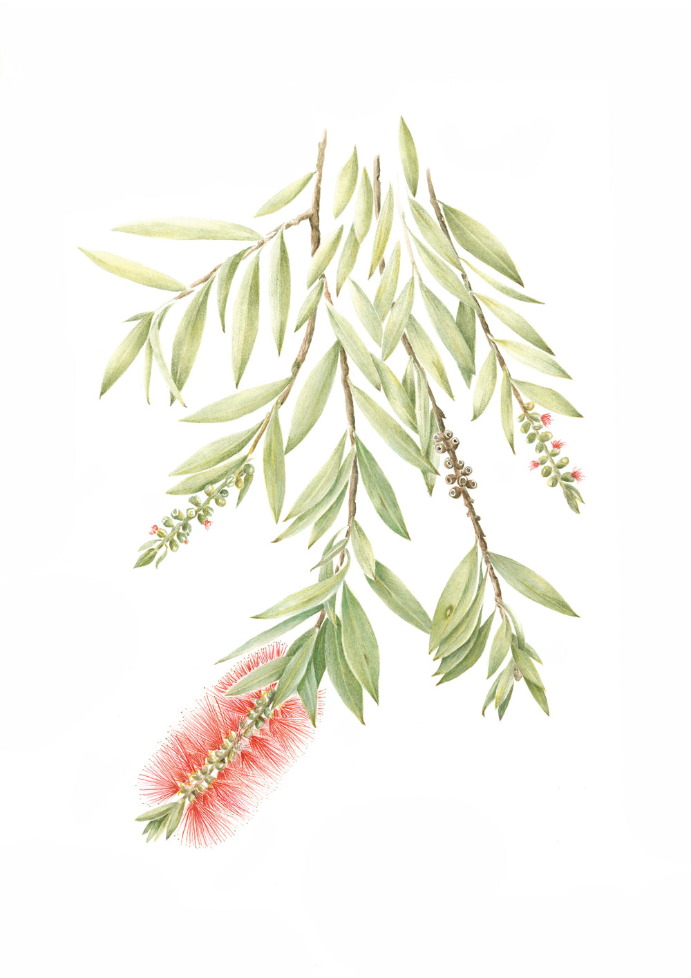 Bottle Brush Print by Alison Dickin