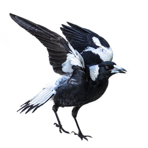 'Dancing Magpie' Photography from Shirley Steel