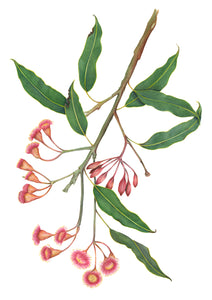 Gum Tree Flowers print by Alison Dickin