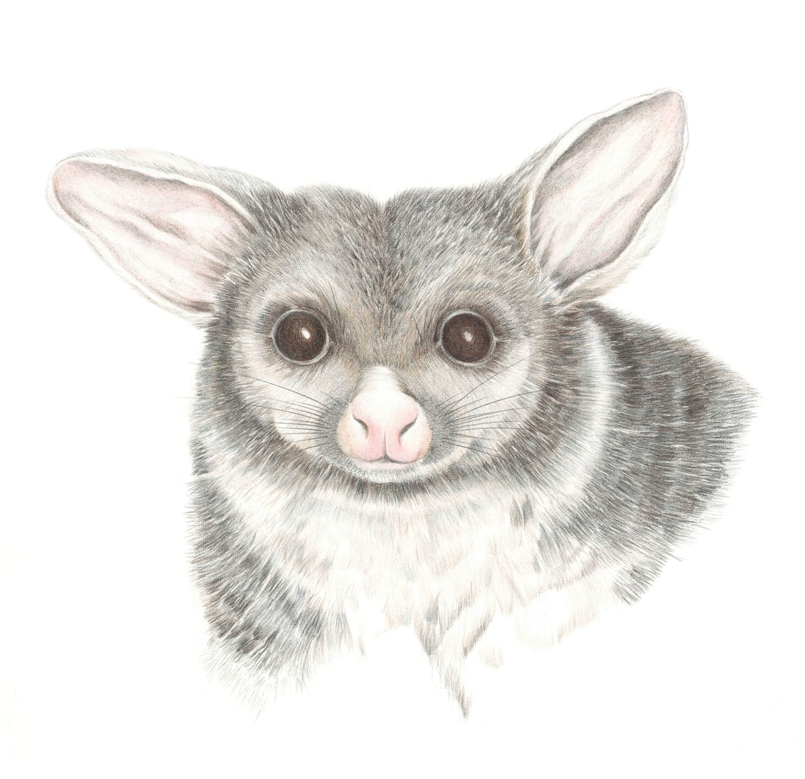 Possum print by Alison Dickin