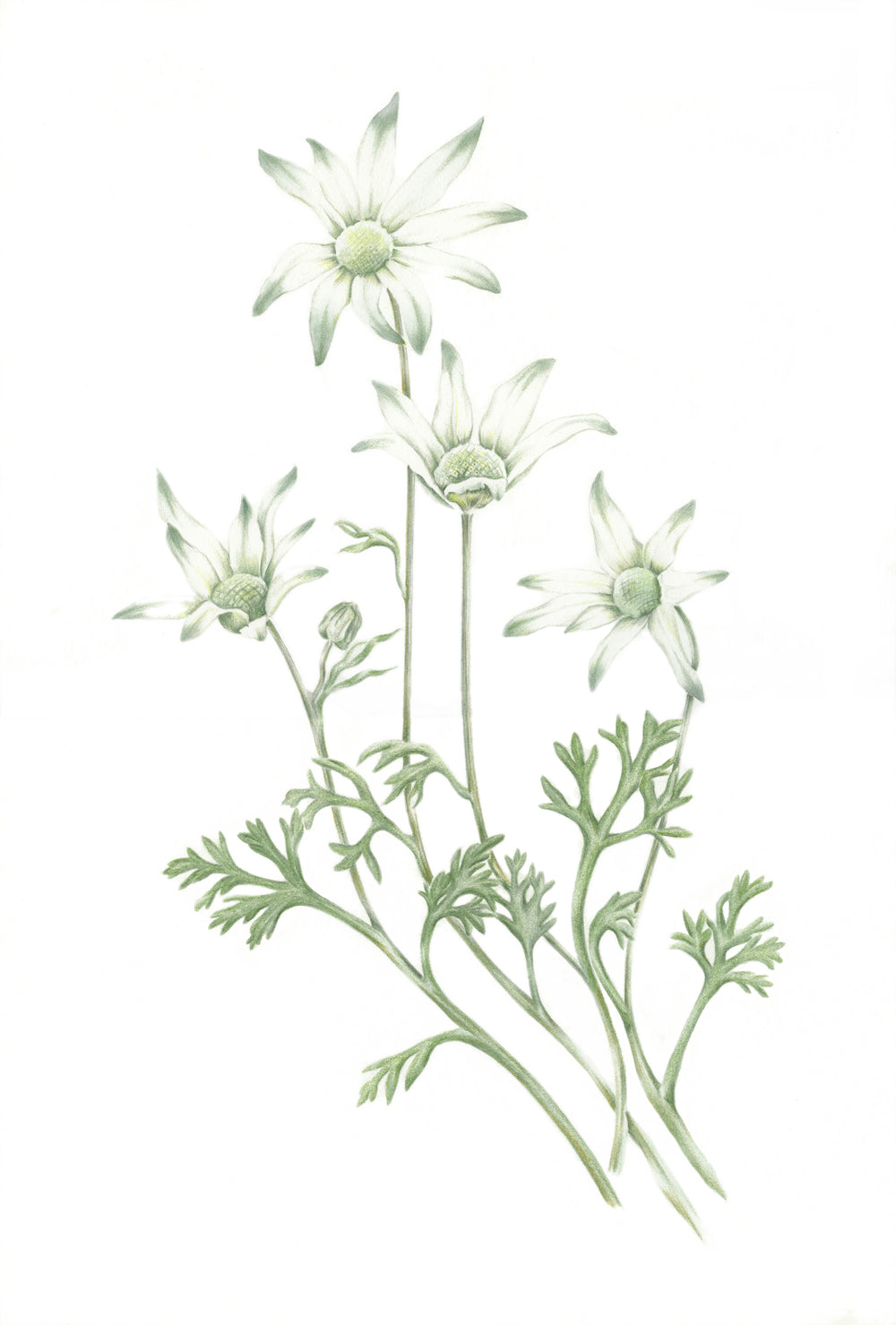 Flannel Flower print by Alison Dickin