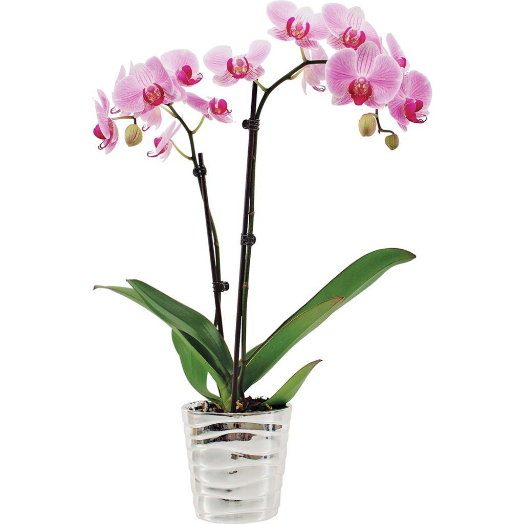 5 Inch Orchid In Ceramic Container