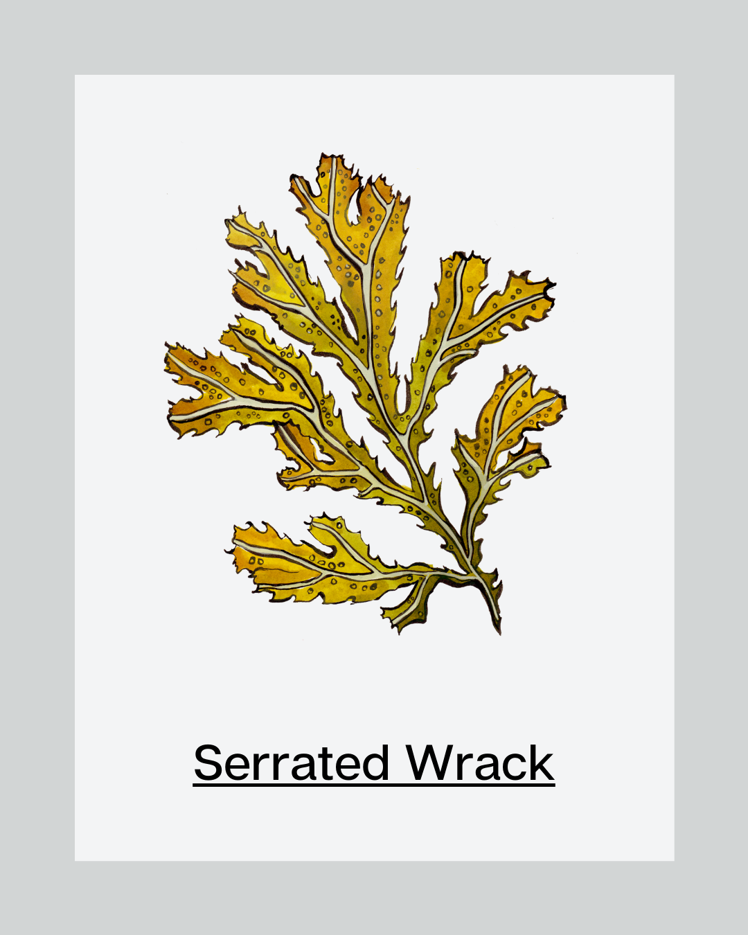 Ingredient of the Month: Serrated Wrack