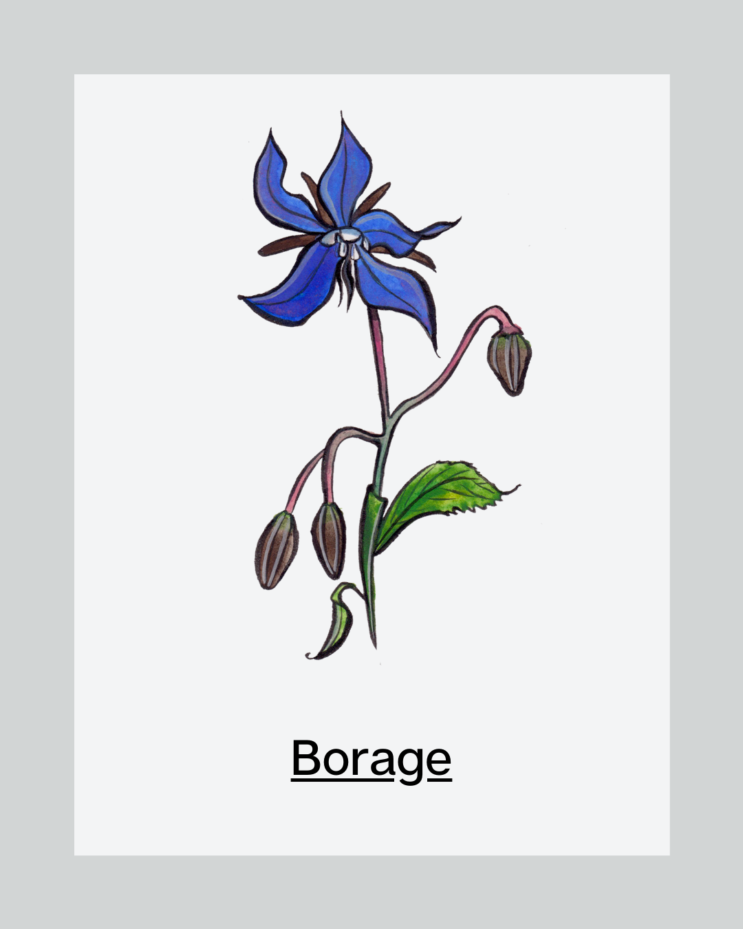 Ingredient of the Month: Borage