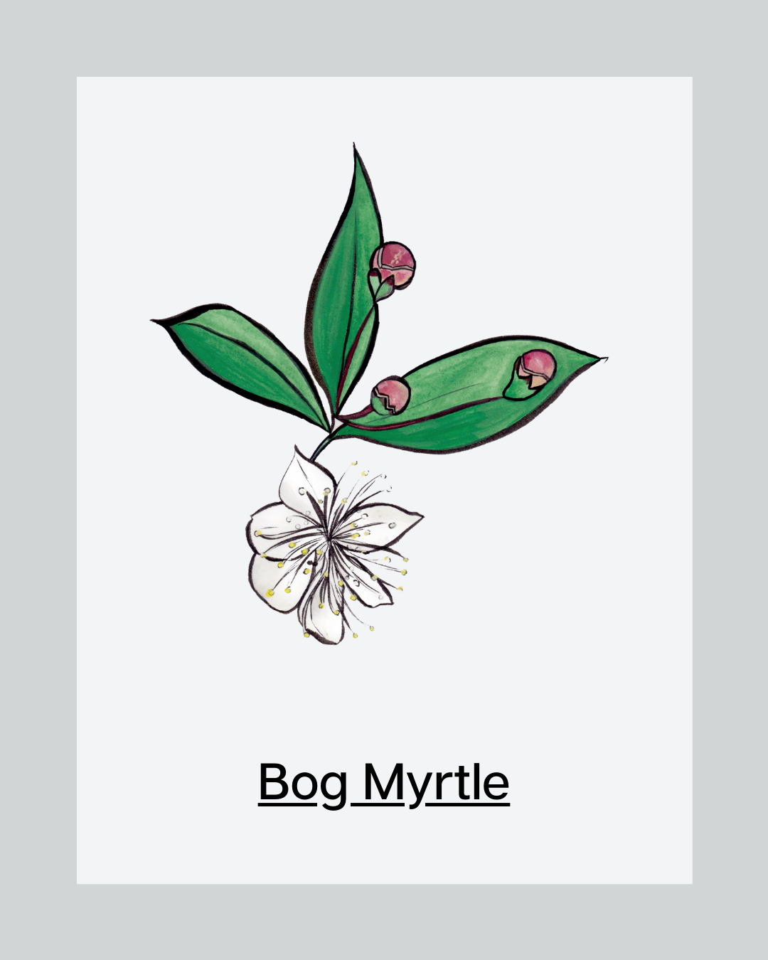 Ingredient of the Month: Bog Myrtle