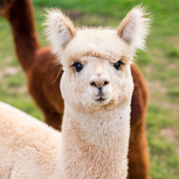 Alpacas and Llamas - What's the difference?