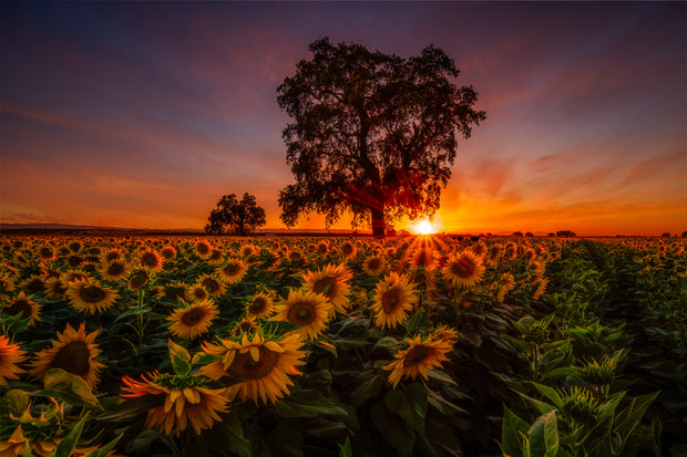 Woodland California epic sunflower field sunset