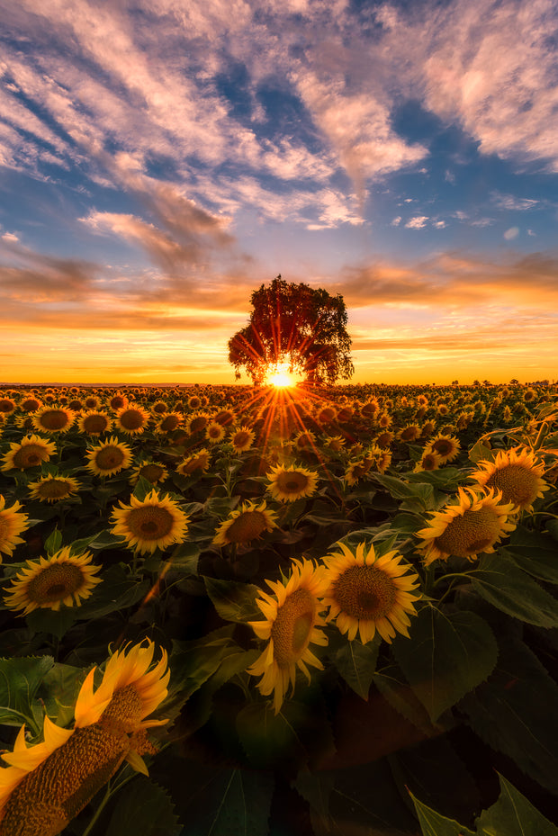 Woodland California sunflower field sunset