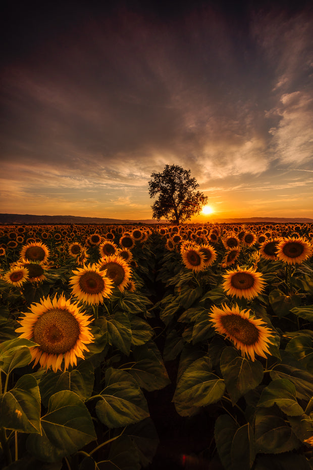 Epic sunflower Field sunset Woodland California