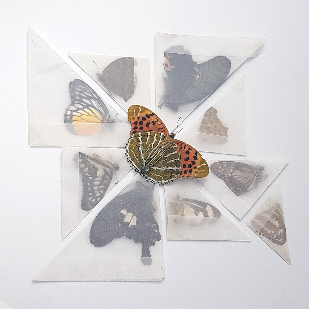 Butterflies | 10 Unmounted