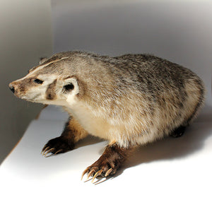 Taxidermy | American Badger