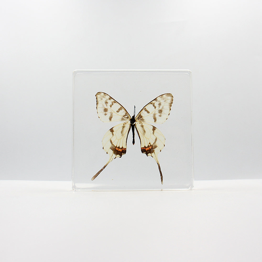 Resin | Butterfly | Sericinus montelus Grey