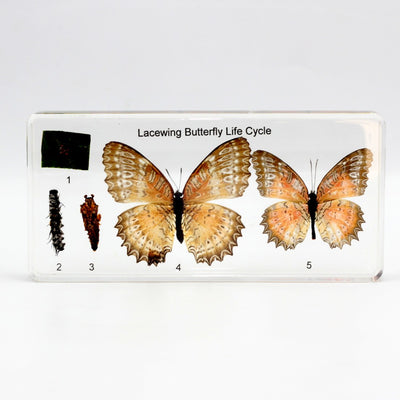 Resin | Life Cycle | Butterfly