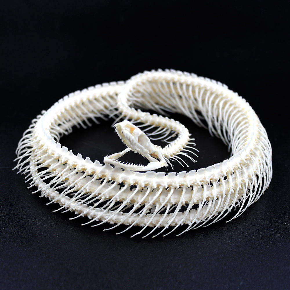 Articulated Skeleton | Snake | Coelognathus flavolineatus | Coiled