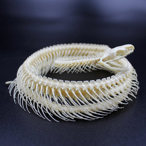 Articulated Skeleton | Snake | Coelognathus radiatus | Coiled