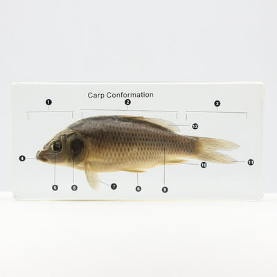 Resin | Carp | Conformation