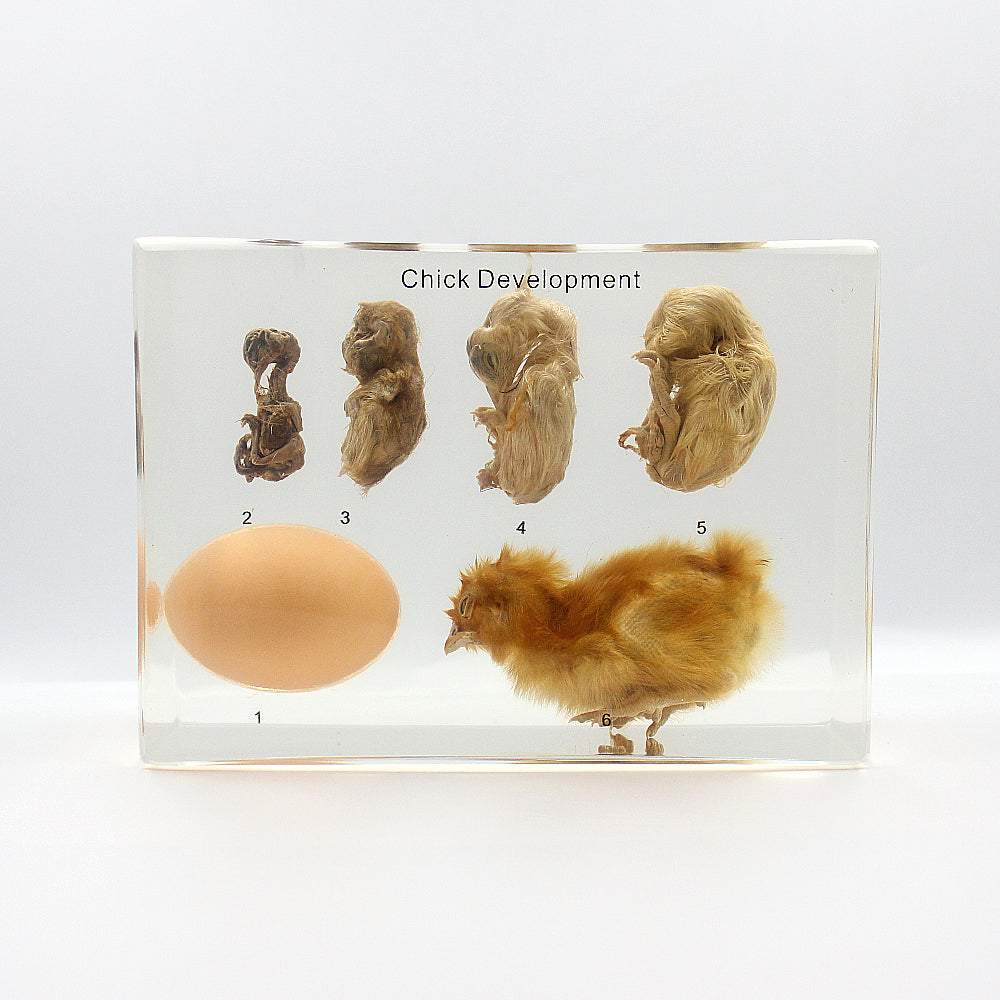 Resin | Chick Development | Yellow