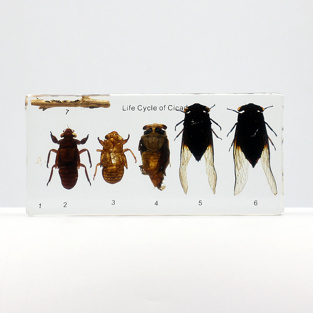 Resin | Life Cycle | Cicada