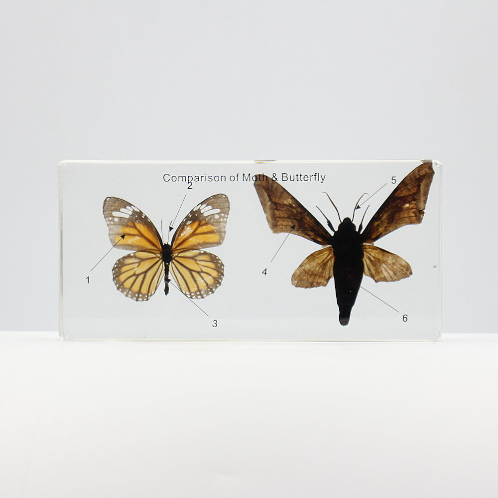 Resin | Comparison of Moth & Butterfly