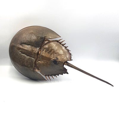 Horseshoe Crab | Wall Hanger | Large