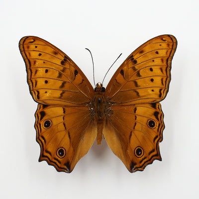 Butterfly | Vindula arsinoe | Unmounted
