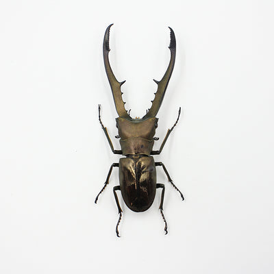 Beetle | Cyclommatus metallifer finae | Unmounted