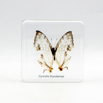 Resin | Cyrestis thyodamas