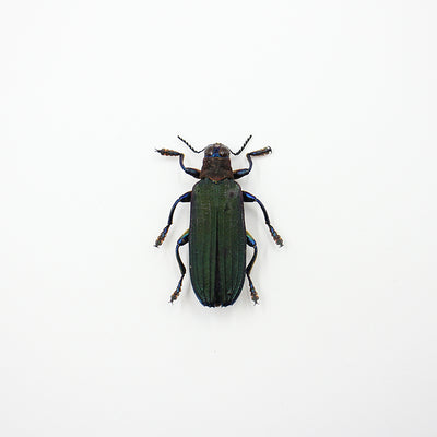 Beetle | Demochroa lacordairei | Unmounted