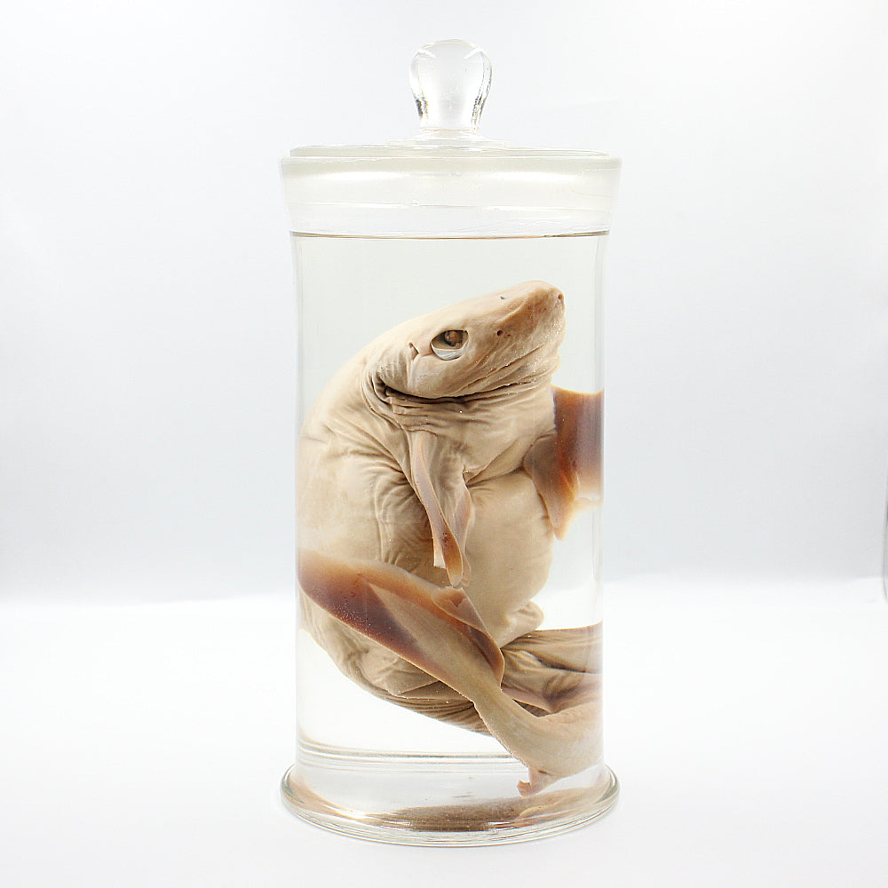 Wet Specimen | Dogfish Shark | Short-nosed Spurdog