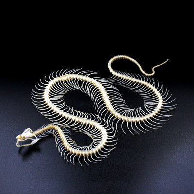 Articulated Skeleton | Snake | Enhydris alternans