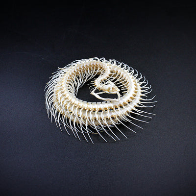 Articulated Coiled Skeleton | Snake | Enhydris alternans