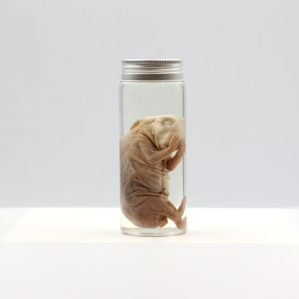 Wet Specimen | Fetal Rabbit | Vial
